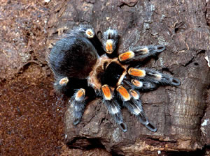 Mexican red knee (Brachypelma smithi): This stunning tarantula, which lives mainly on the Pacific coast of Mexico, resides in burrows, hurrying out to prey oninsects, small frogs, lizards, and mice. (© AMNH\R. Mickens)