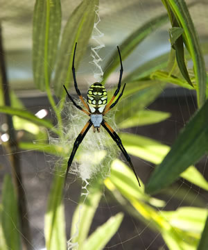 Orb weaver (Argiope sp.) Members of this genus are found all around the world and spin large webs that often contain striking designs. Charlotte's Web author E.B. White, who consulted with a Museum curator while writing the classic children's book, named the main character Charlotte A. Cavatica after a common orb weaver, Araneus cavaticus. (© AMNH\R. Mickens)