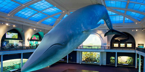 Graduation at AMNH takes place under the Giant Blue Whale